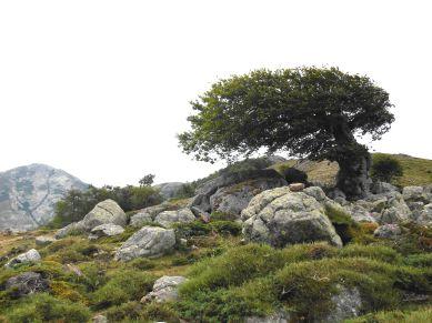 Wśród wielu charakterystycznych zdjęć szlaku GR20 można napotkać często na te obrazujące siłę wiatru na korsykańskich przełęczach, który nadaje szczególny kształt drzewom.